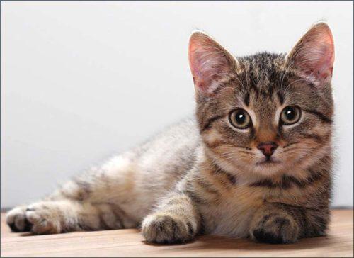Беспородный серый кот лежит на полу и смотрит вперед