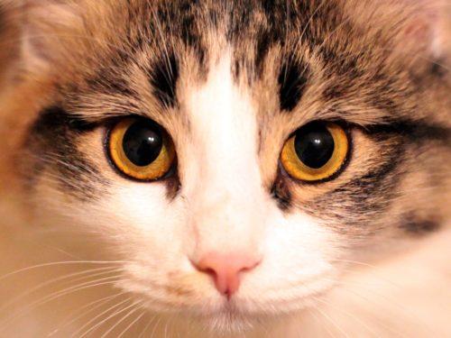 Беспородная кошка с желтыми глазами