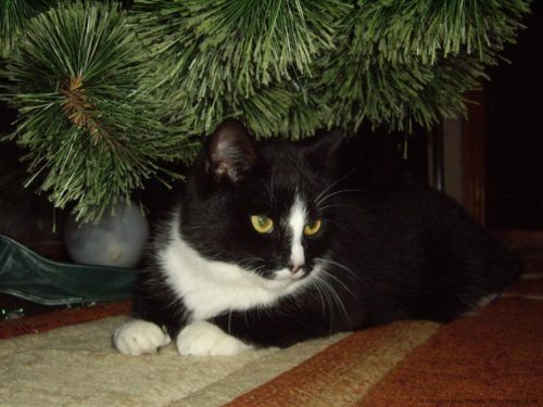 Беспородная черно белая кошка сидит под елью