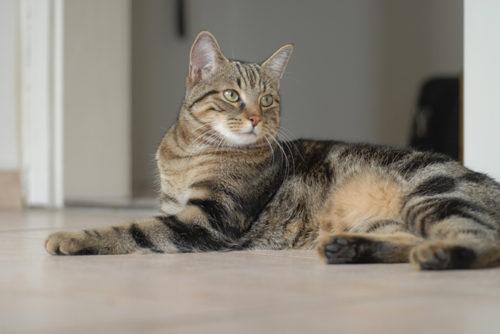 Серый беспородный кот лежит на полу