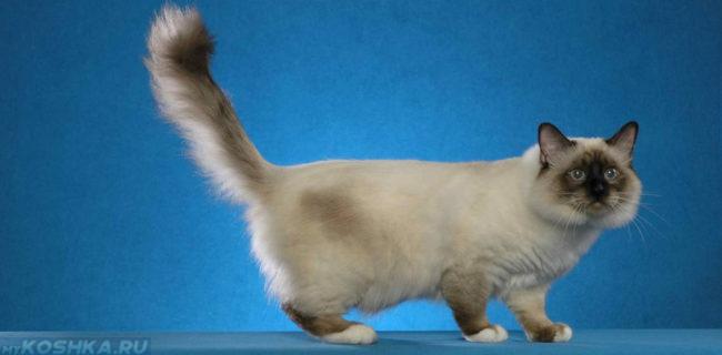 Кошка бирманской породы на голубом фоне