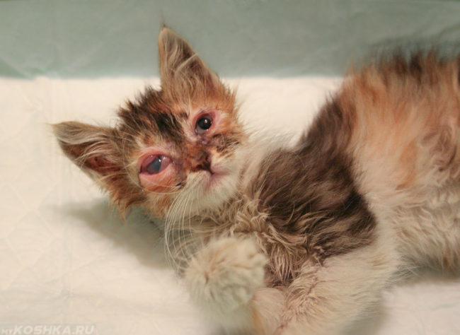 Гепатит у пушистого коричневого котенка