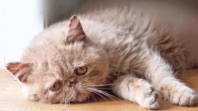Болезнь Альцгеймера у серого пушистого кота