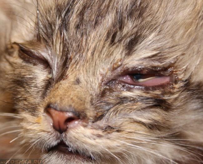 Конъюнктивит у коричневого пушистого котенка