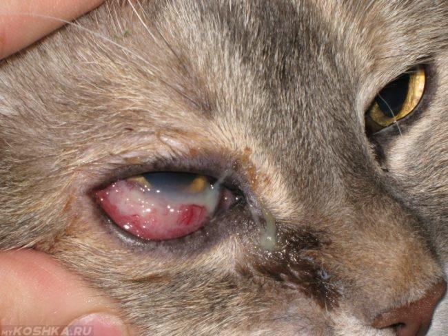 Болезнь глаз у коричневого кота в увеличенном виде