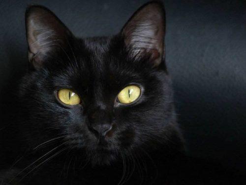 Черная бомбейская кошка на сером фоне смотрит вперед