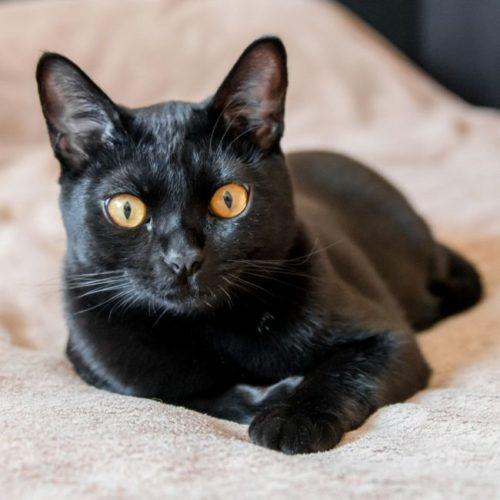 Черная бомбейская кошка лежит на одеяле