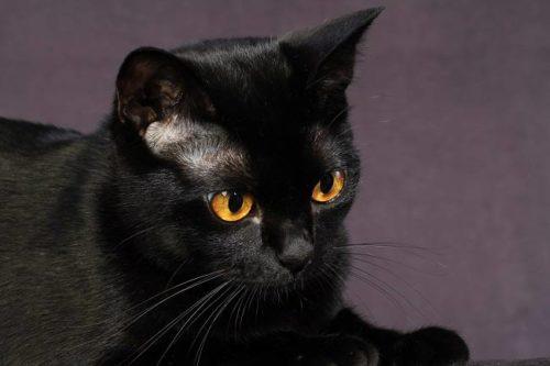 Черная бомбейская кошка с желтыми глазами