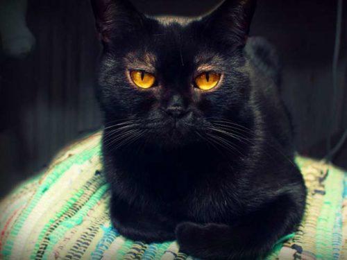 Черная бомбейская кошка сидит на разноцветном покрывале