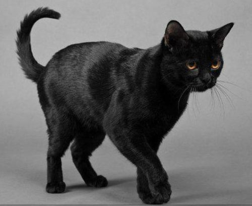 Черная бомбейская кошка на сером фоне