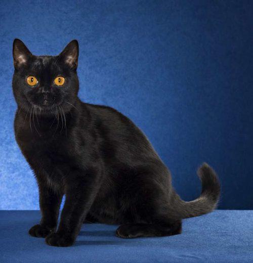 Черная бомбейская кошка на синем фоне