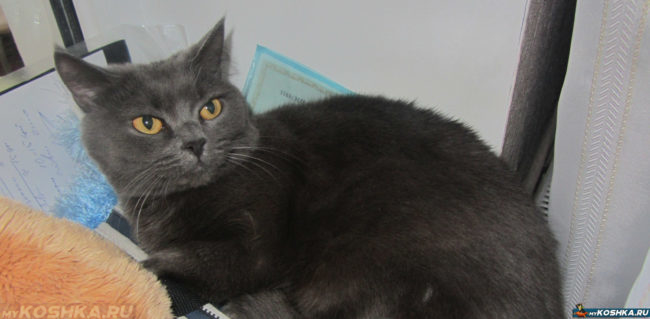 Британская спокойная кошка лежит на подоконнике