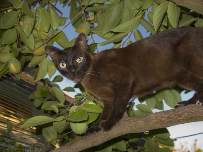 Черная кошка породы бурмезе на ветке дерева
