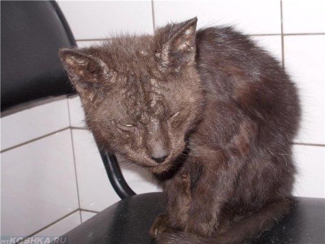Серая истощенная кошка на стуле