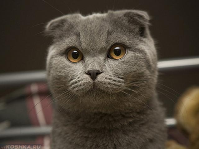 Серый британский вислоухий кот