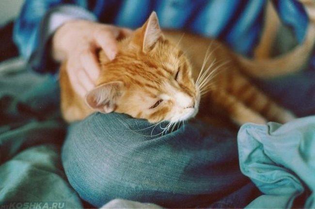 Рыжий кот облокотившийся на колено хозяина