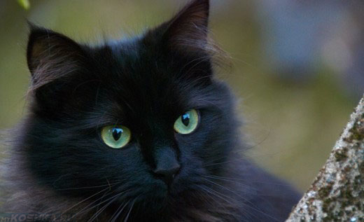 Чёрная-чёрная кошка мордочка