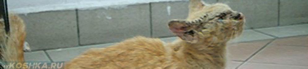 Чесотка у кошки общий вид