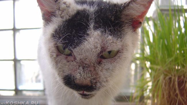 Чесотка на морде у кота