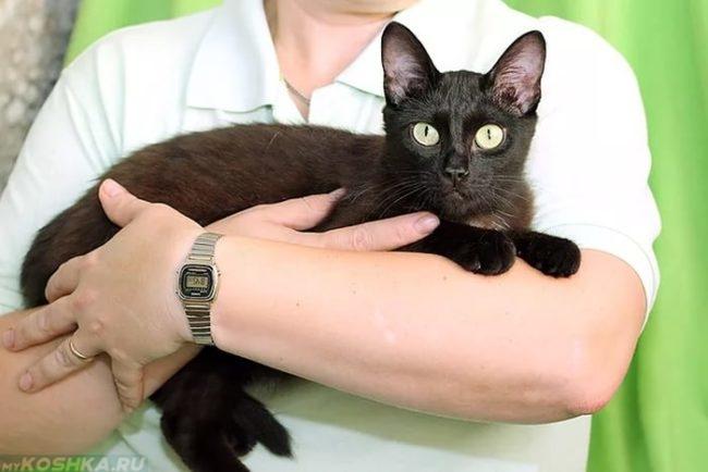 Десятимесячная черная кошка на руках