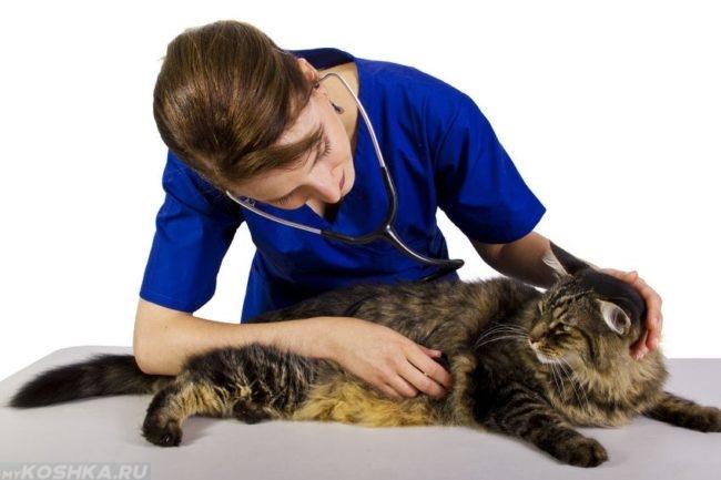 Коричневая пушистая кошка на столе у ветеринара в синем халате