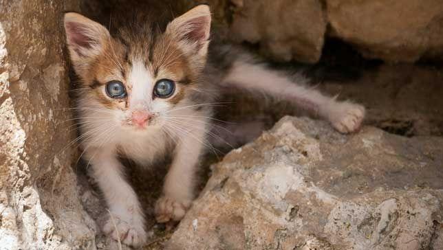 Дикий голубоглазый котёнок