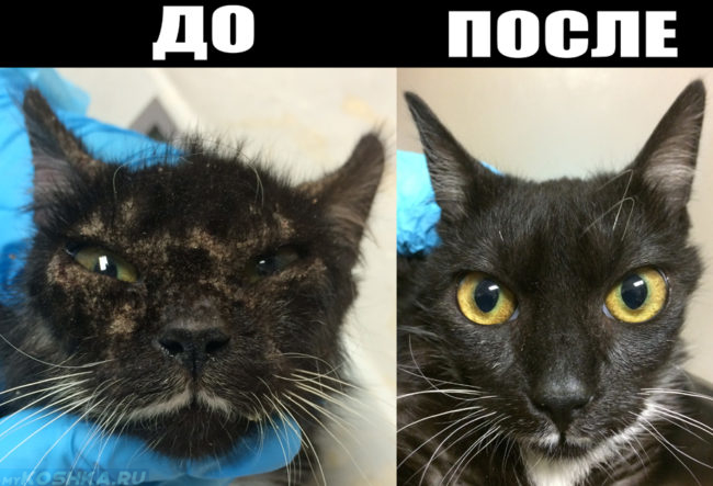 Кот до и после лечения чесотки