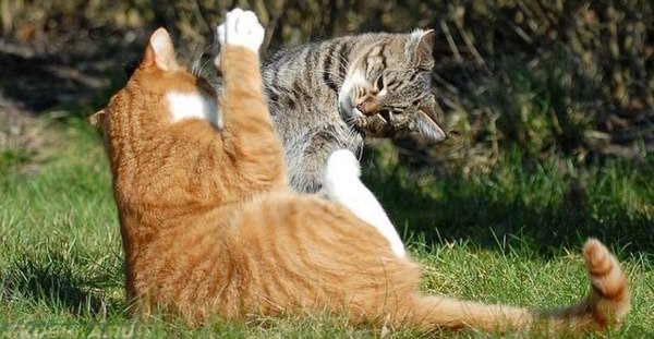 Драка двух уличных котов
