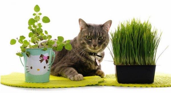 Кот рядом со специальновыращенной травкой