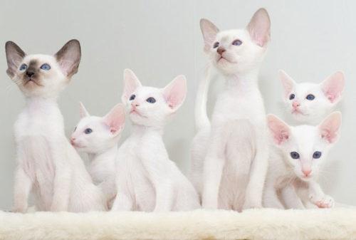 Белые котята породы форинвайт сидят на белом одеяле