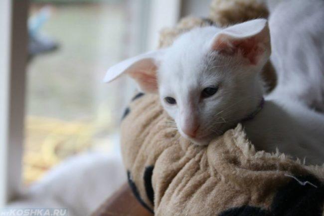 Белая кошка породы форинвайт лежит на лежанке и грустит