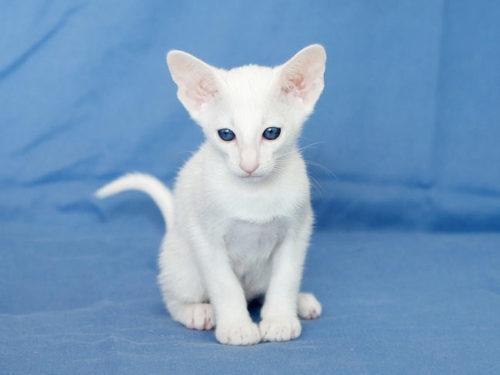 Белая кошка породы форинвайд сидит на синем покрывале