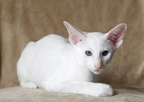 Белая кошка породы форинвайд лежит на бежевой поверхности