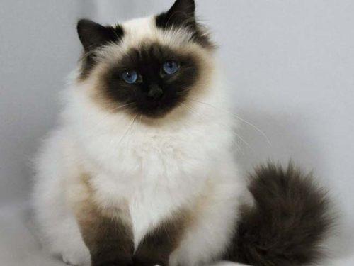 Пушистая гималайская кошка сидит на полу и смотрит вперед
