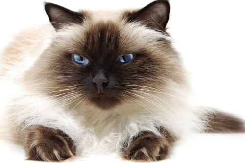 Длинношерстная гималайская кошка с голубыми глазами лежит на полу