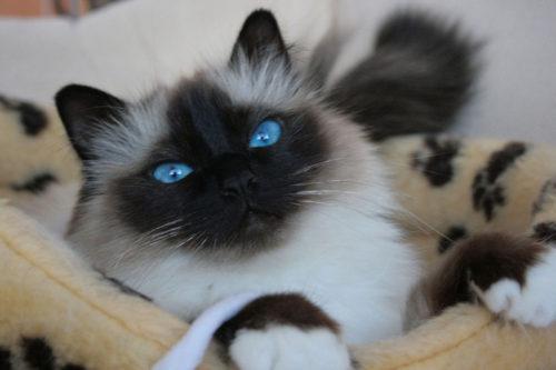 Пушистая гималайская кошка лежит на лежанке