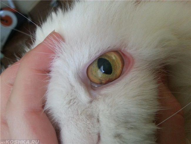 Глаз в увеличенном виде белого пушистого кота