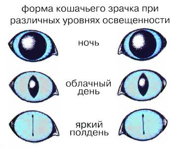 Схема форм кошачьих зрачков от расширенных до суженных