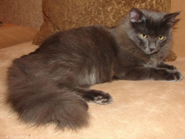 Сибирский голубой кот на диване