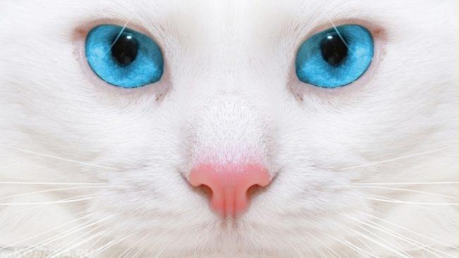 Голубые глаза у белой пушистой кошки в приближенном виде