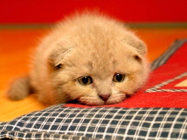 Рыжий кот с грустными глазами