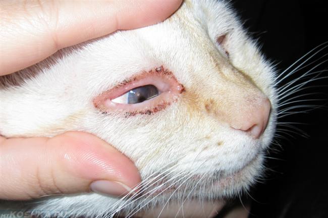 Хламидиоз у белого кота в приближенном виде