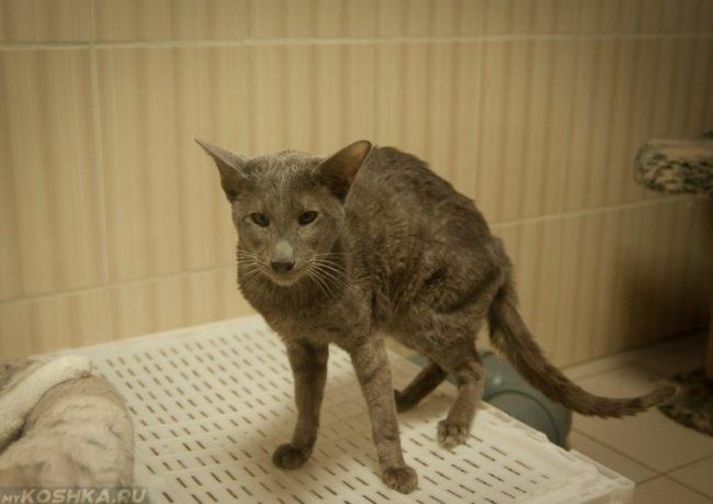 Худой серый кот с длинным хвостом