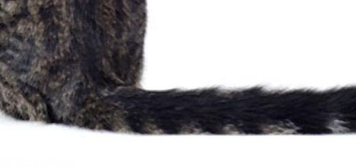 Хвост у кота вблизи