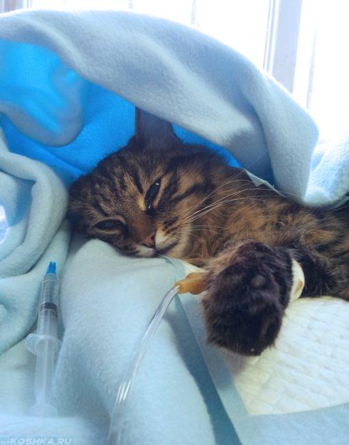Кошке поставили капельницу при липидозе