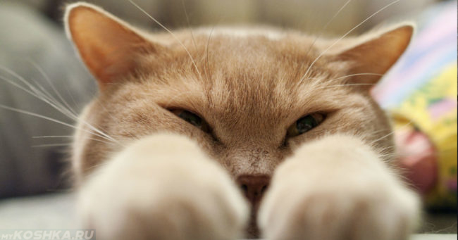рыжая кошка с лапами вперед