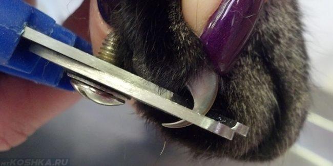 Процесс стрижки когтей кошки