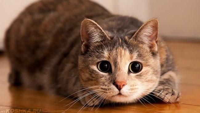 Разноцветный кот смотрит в камеру