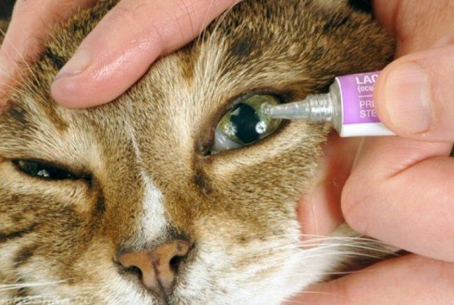 Капаем в глаза кошке специальные капли после операции
