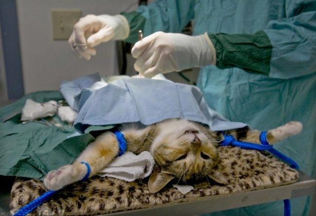 Процедура кастрации серого полосатого кота